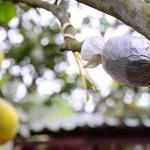 Cách chiết cành cây ăn quả