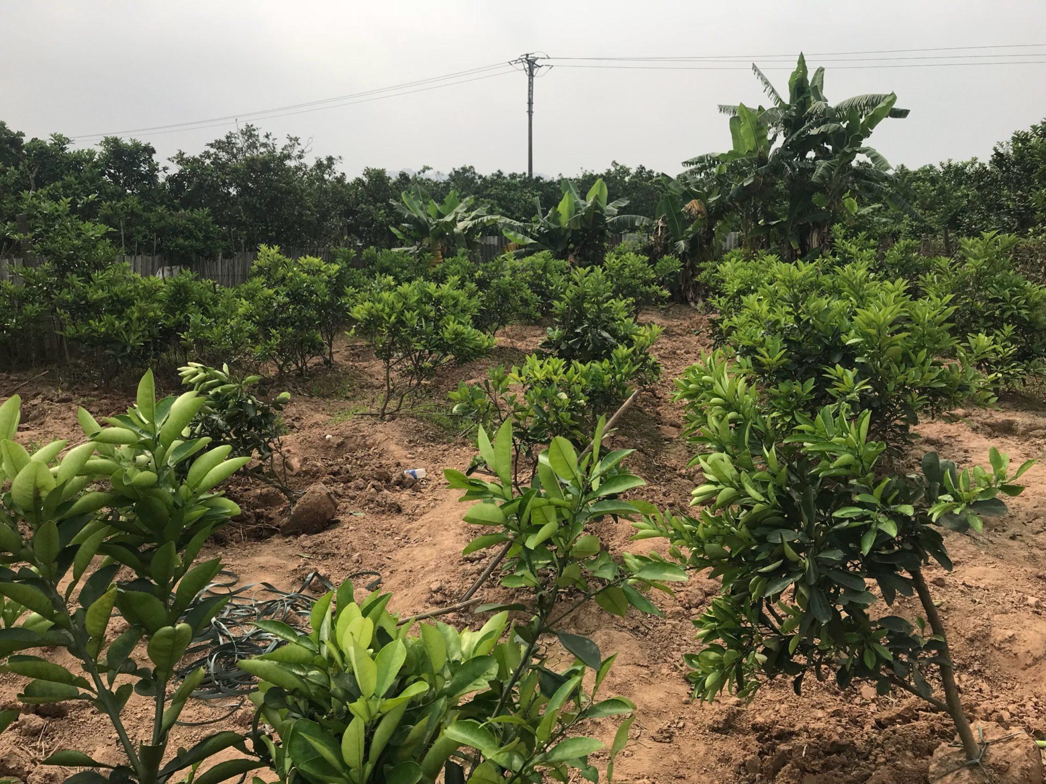 Vườn cây giống bưởi diễn  choai chính gốc