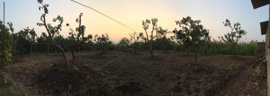 Vườn cây bưởi diễn trưởng thành vừa được đánh về và giâm tại mảnh đất trống để khách đến mua