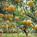Kỹ thuật trồng bưởi diễn cho sai quả