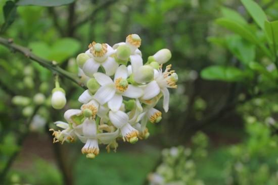 hoa buoi