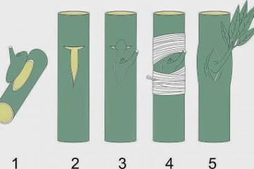 Cách ghép cây bưởi – Kỹ thuật ghép bưởi diễn
